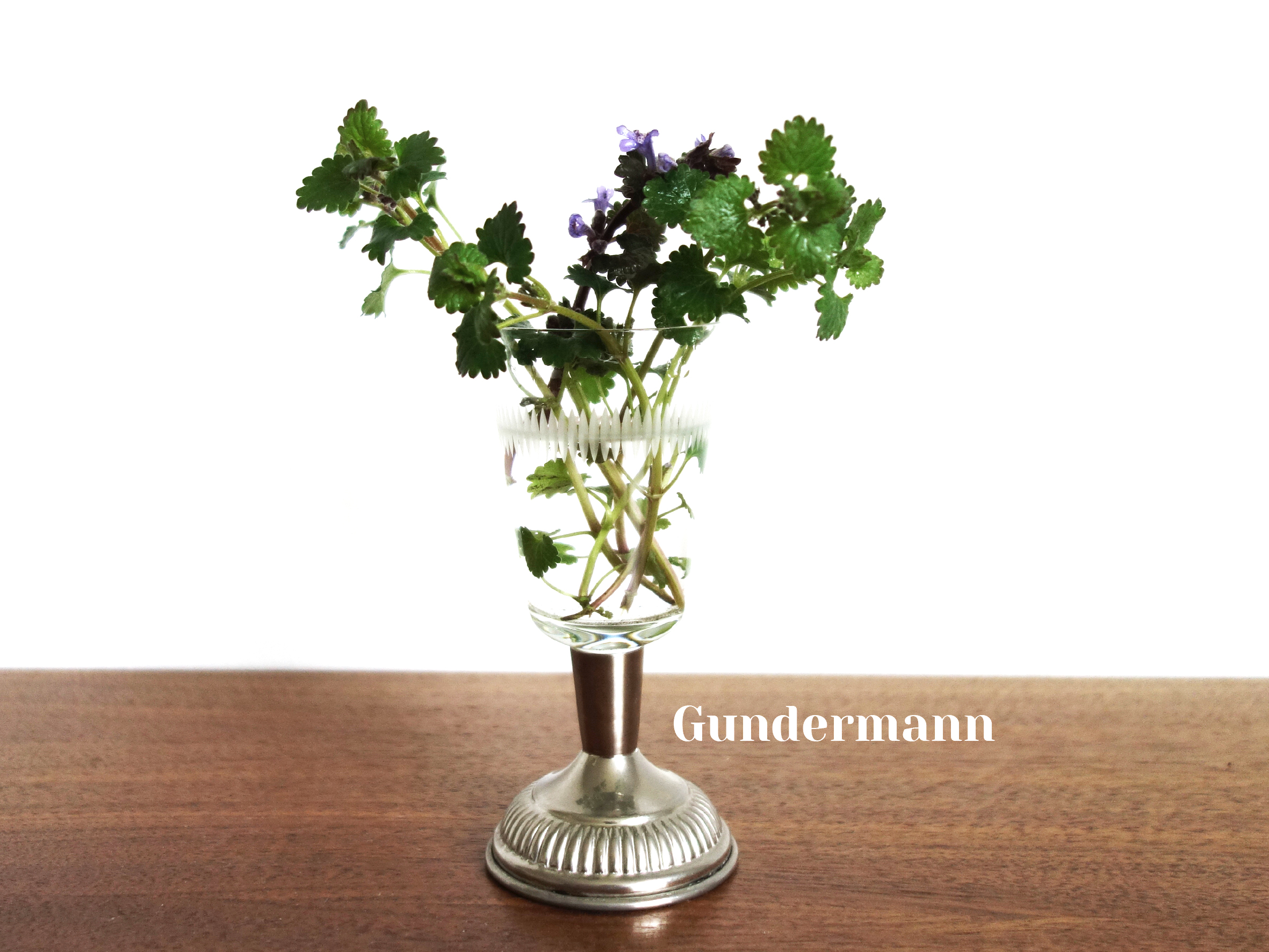 """Gundermann Gundelrebe botanisch """"Glechoma hederacea"""""""