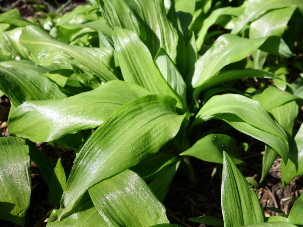 Bärlauchpflanzen